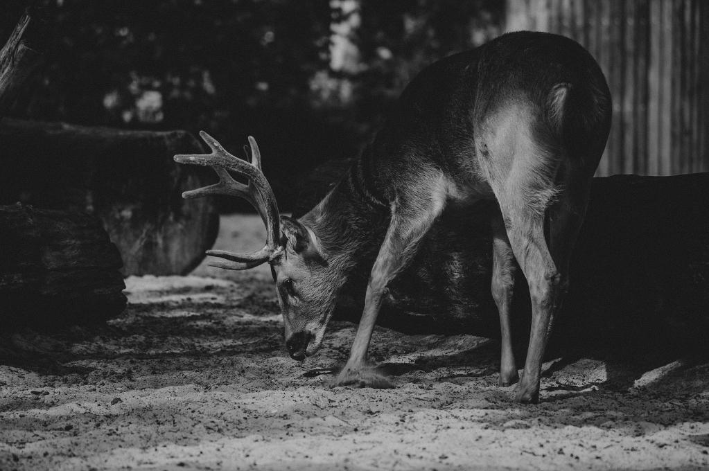 deer-1979
