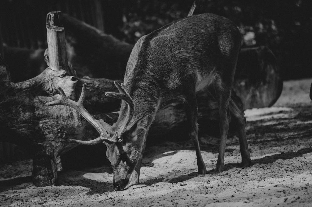 deer-1981