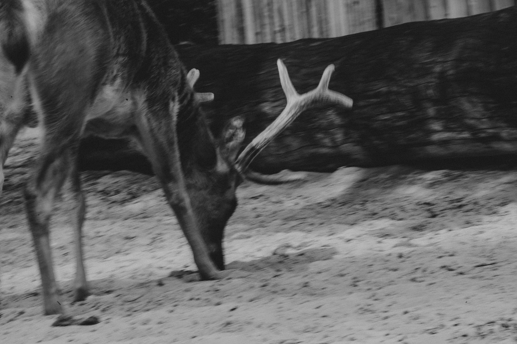 deer-1984
