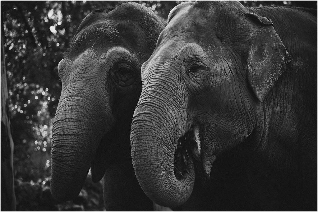 Elephants_0002